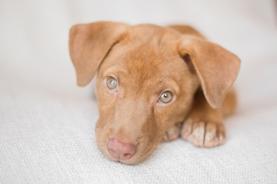 Orange County NY Photographer Puppy Lab Shephard Mix