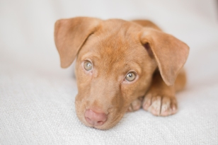 Orange County NY Photographer Puppy Lab Shephard Mix